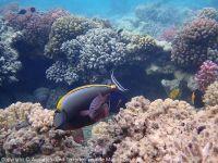 Naso_lituratus_(Orangeklingen-Nashorndoktorfisch)_F02