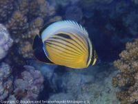 Chaetodon_austriacus_(Rotmeer-Rippelstreifen-Falterfisch)_F02