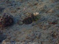 Amblygobius_albimaculatus_(Riff-Grundel)_SA02