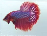 2_Betta_splendens-von-Tina