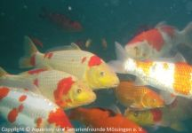 koi-unterwasser_01