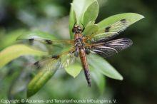 Vierfleck-Libelle_(Libellula_quadrimaculata)