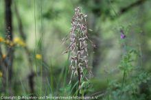 09_Bocks-Riemenzunge_(Himantoglossum_hircinum)