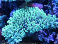Korallen_4