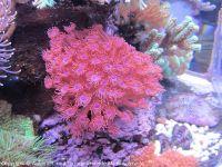 Korallen_3