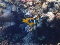 Amphiprion_bicinctus_(Rotmeer-Anemonenfisch)_SA03