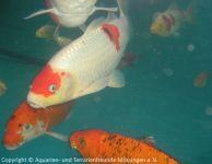 koi-unterwasser_04