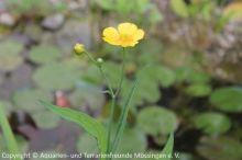 Ranunculus_lingua_02